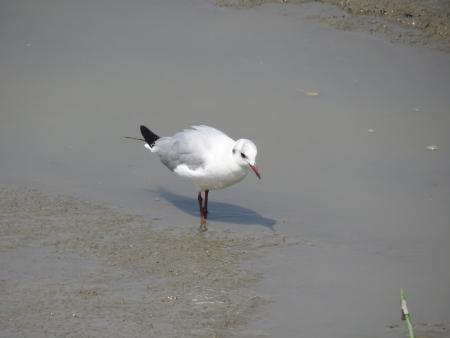 german north sea region: Seagull Stock Photo
