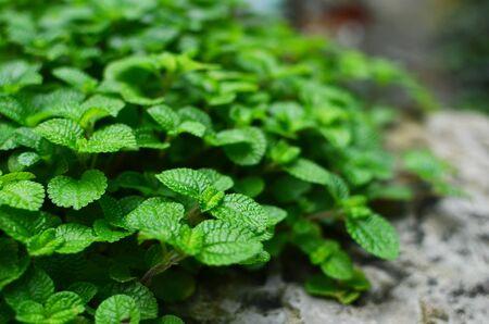true myrtle: plants