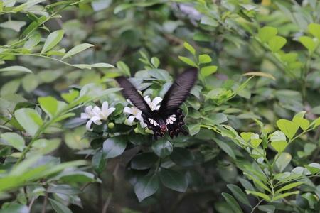 Papilio helenus Stock Photo - 19446431