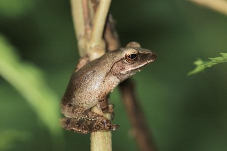 盧氏小樹蛙