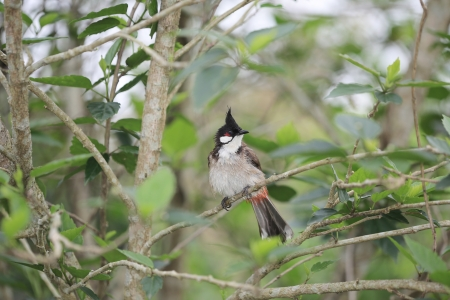 postmail: Red-whiskered Bulbul