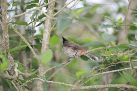 Red-whiskered Bulbul photo
