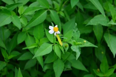 nymphalidae: white flower