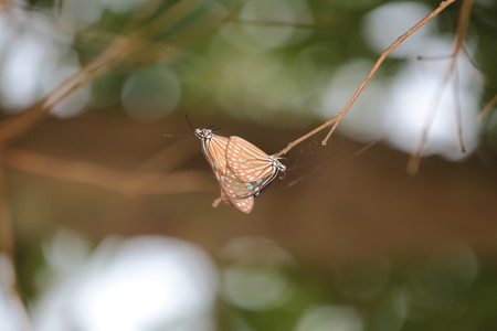 ironwood: blue Monarch Butterfly Mating