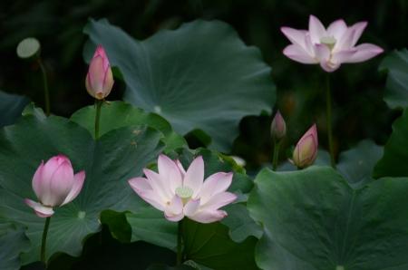 lotus effect: lotus