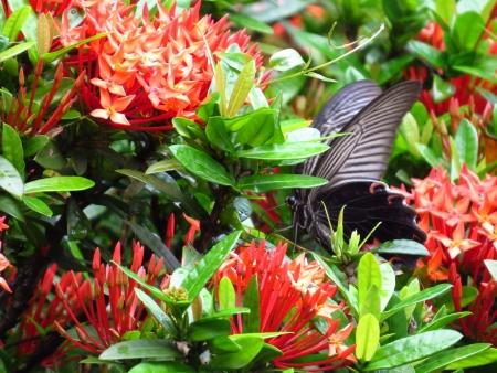 swallowtail: Swallowtail butterflies