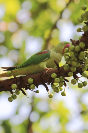 Rose-ringed Parakeet photo