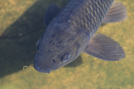 crucian carp: fish