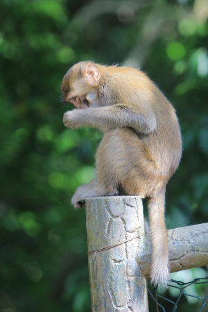 Monkey at golden hill, hong kong  photo