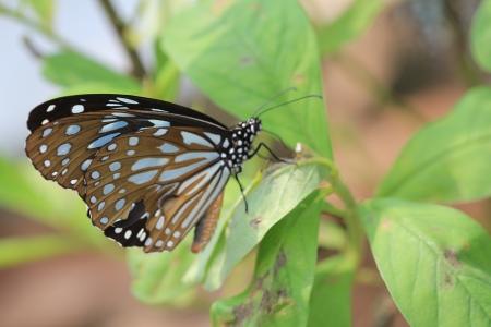 青斑蝶 版權商用圖片 - 22717060