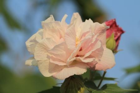 rosemallow: Confederate Rosa Fiore