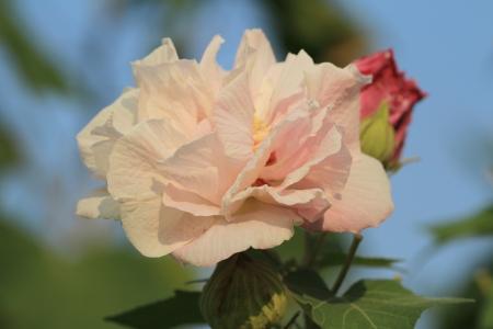 rosemallow: Confederate Rose Flower