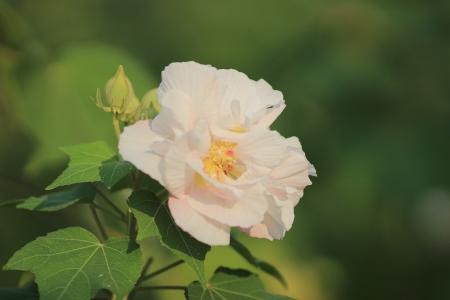 rosemallow: Confederate fiore della Rosa