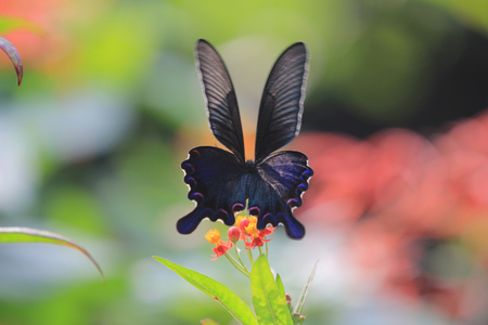 entomological: butterfly