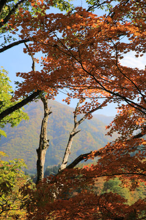 gassho zukuri: fall tree Stock Photo