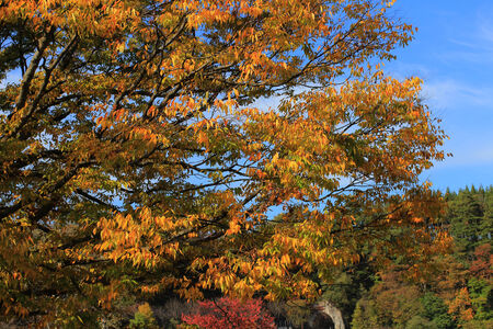 shirakawa go: fall tree Stock Photo