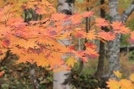 japanese maple Stock Photo - 24823404