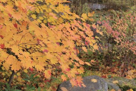 japanese maple Stock Photo - 24827418