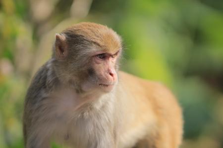 hk: A  monkey  in Kam Shan Country Park, hk