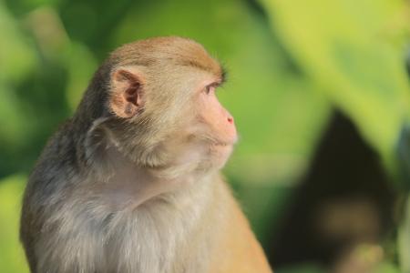 country park: Un mono en Kam Shan Country Park, hk