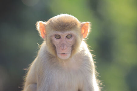 A  monkey  in Kam Shan Country Park, hk photo