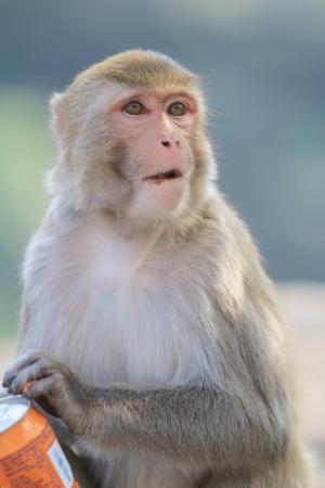 monkey at Kam Shan Country Park, Kowloon, Hong Kong Stock Photo