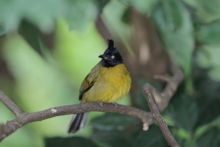 prin: Pycnonotus atriceps Foto de archivo