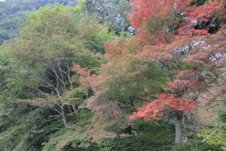 japanese maples: red japanese maples