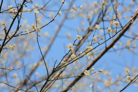 White plum flower in blossom seasonchina stock photo picture and stock photo white plum flower in blossom seasonchina mightylinksfo