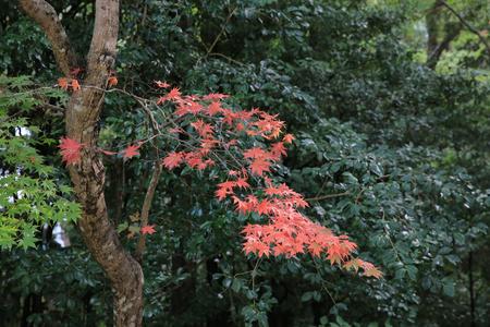 serrated: japanese maple tree Stock Photo