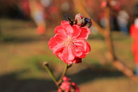 snug: Prunus persica--prey for peace and happiness in Spring Festival