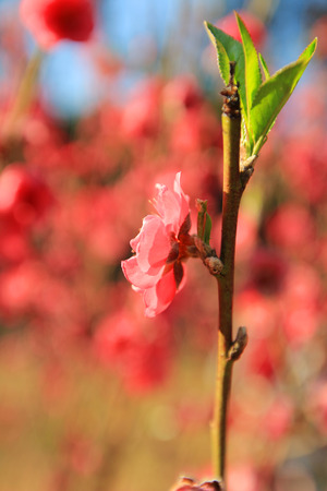 venation: Prunus persica--prey for peace and happiness in Spring Festival