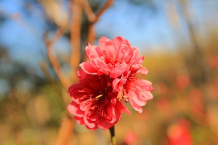 seres vivos: Prunus persica