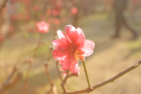 goodliness: Prunus persica--prey for peace and happiness in Spring Festival