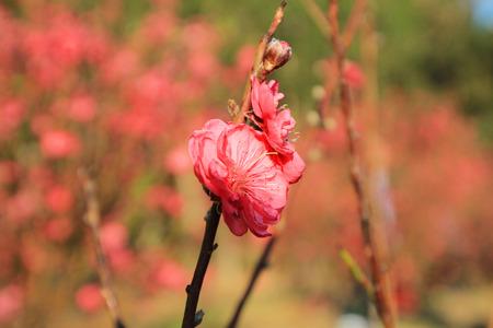 seres vivos: Prunus persica - presa por la paz y la felicidad en la Fiesta de la Primavera