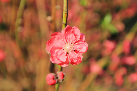 romcaper: Prunus persica--prey for peace and happiness in Spring Festival