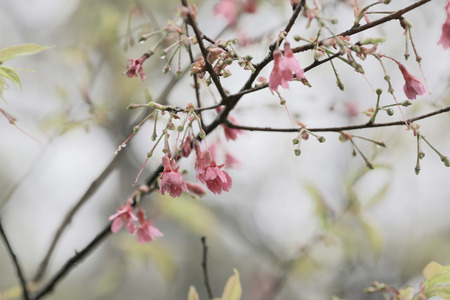 transforming: pink blossom sukura flowers on a spring day Stock Photo