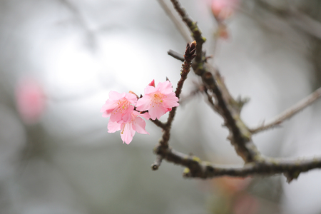 pink blossom sukura flowers on a spring day photo