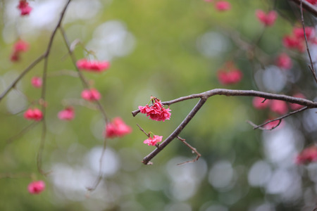 Cherry Blossom at cheung chau photo