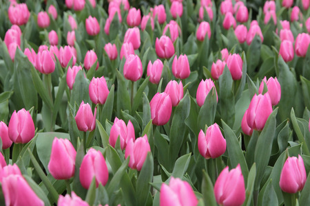 flower show: Tulipano in mostra floreale
