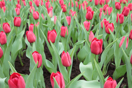 flower show: Tulip in mostra floreale