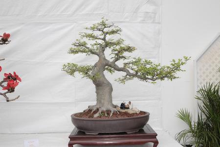 bonsai tree: A small bonsai tree in a ceramic pot  Cascade style