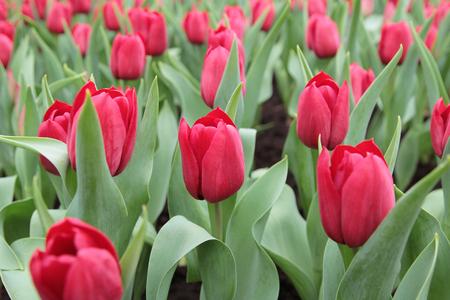 Tulip in flower show photo