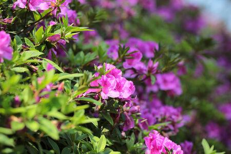 Azalea flower bushes photo
