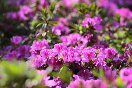 Azalea flower bushes