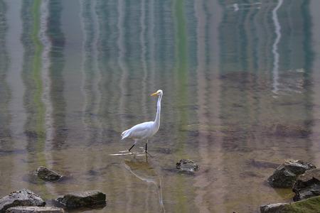straddle: white egret