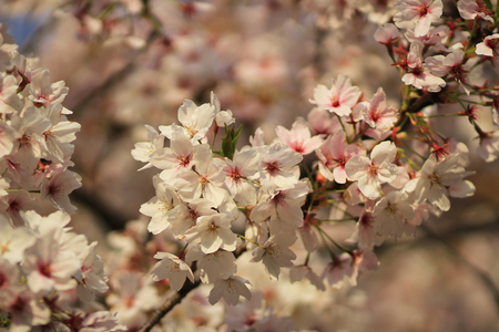 Cherry blossom close up photo