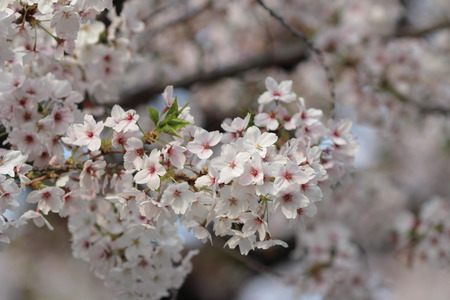Spring cherry blossoms in soft spring light  photo