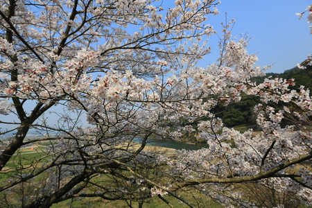 Cherry blossom at Ryoanji Temple photo