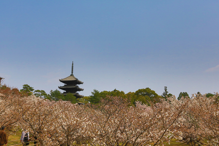 ninnaji: beautiful sakura blossom at Ninna-ji temple, Kyoto, Japan